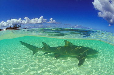 Sicklefin lemon shark (Negaprion acutidens)  in the lagoon of Picard Island, Aldabra, Seychelles, Indian Ocean.