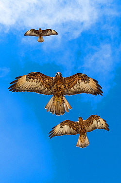 Galapagos hawks (Buteo galapagoensis) in flight, Galapagos, Ecuador. Vulnerable species.