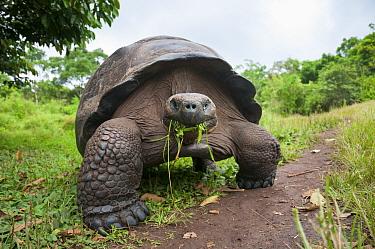 Santa Cruz Galapagos tortoise (Chelonoidis nigra porteri) feeding on grass, Santa Cruz Highlands, Galapagos