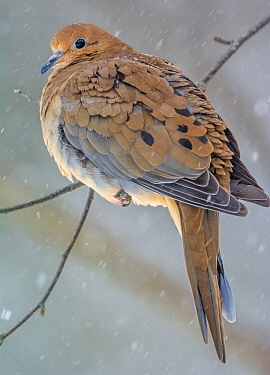 Mourning Dove (Zenaida macroura) perched on branch in snow, Acadia National Park, Maine, USA, February.