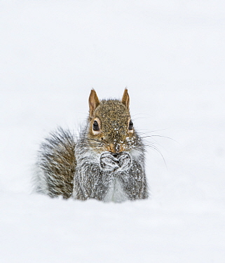 Eastern Gray Squirrel (Sciurus carolinensis) feeding in snow, Acadia National Park, Maine, USA, February.