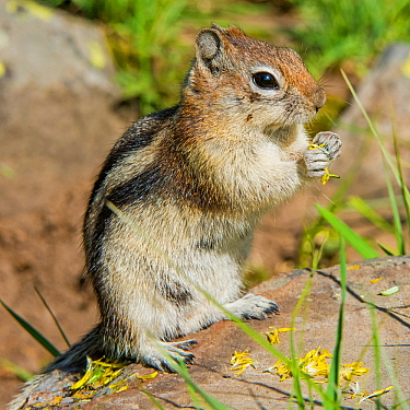 Golden-mantled ground squirrel (Callospermophilus lateralis) feeding on flowers, Yellowstone National Park, Wyoming, USA, June.