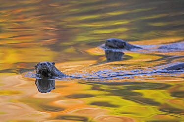 North American River Otter (Lontra canadensis) two swimming near the surface with autumn leaves reflected in water,  Acadia National Park, Maine, USA, October.