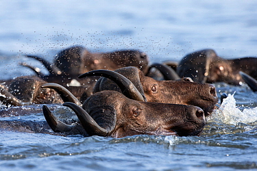 Cape buffalo (Syncerus caffer) crossing the Chobe River, followed by swarm of flies, Chobe Game Reserve, Botswana, Africa.
