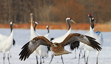 Black kite (Milvus migrans) flying and red-crowned crane (Grus japonensis) on snow, Hokkaido, Japan, February.