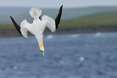 Gannet (Sula bassana) diving, July  UK Shetland.