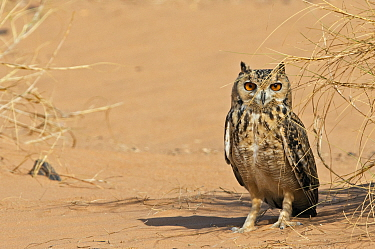 Pharaoh eagle owl (Bubo ascalaphus) on sand, Morocco, March.