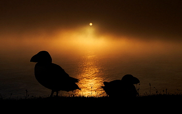 Puffin (Fratercula arctica) silhouetted at sunset, Shetland Islands, Scotland, UK, July.