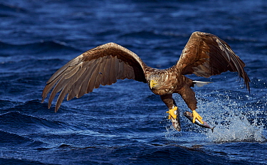 White-tailed eagle (Haliaeetus albicilla) with two fish in talons, Norway, October.