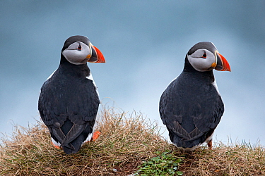 Puffin (Fratercula arctica), Hornoya, Varanger, Finnmark, Norway, April.