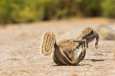 Barbary ground squirrels (Atlantoxerus getulus) fighting, Fuerteventura, Canary Islands. Introduced from North Africa.