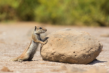 Barbary ground squirrel (Atlantoxerus getulus) looking over rock, Fuerteventura, Canary Islands. Introduced from North Africa.