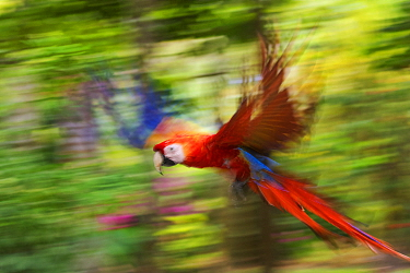 Scarlet macaw (Ara macao) flying, blurred motion. Costa Rica.