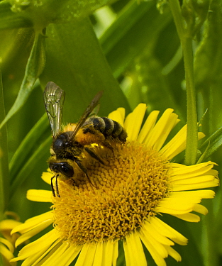 Honey bee (Apis mellifera) on Fleabane  (Erigion eriginousus) Newport Marshes Reserve, Gwent, Wales, UK. August.