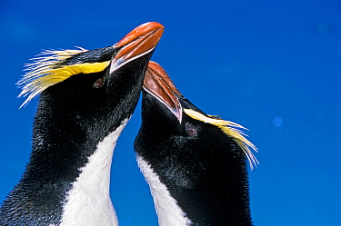 Erect-crested penguin (Eudyptes sclateri) pair in greeting display. Antipodes Island, New Zealand Sub-Antarctic Islands. Endemic to Antipodes and Bounty Islands. Endangered species.
