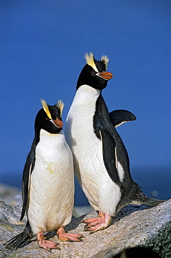Erect-crested penguins (Eudyptes sclateri) pair. Proclamation Island, Bounty Islands, New Zealand Sub-Antarctic Islands. Endemic to Antipodes and Bounty Islands. Endangered species.