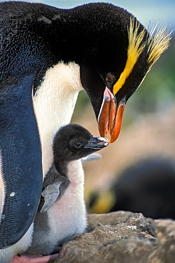 Erect-crested penguins (Eudyptes sclateri) feeding young chick. Antipodes Island, New Zealand Sub-Antarctic Islands. Endemic to Antipodes and Bounty Islands. Endangered species.