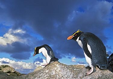 Snares-crested penguin ( Eudyptes robustus) walking along rocks, Snares Island, New Zealand Sub-Antarctic Islands. Endemic and vulnerable species.