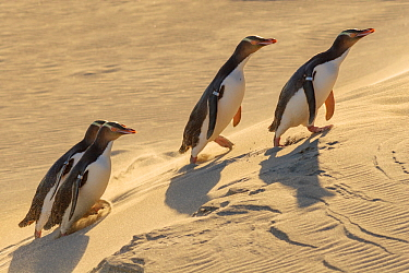 Four Yellow-eyed penguins (Megadyptes antipodes) walking up a sand dune towards their nests, Otago Peninsula, Otago, South Island, New Zealand. September. Endangered Species.