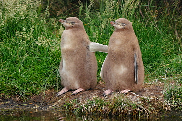 Two Yellow-eyed penguin (Megadyptes antipodes) chicks standing together. Otago Peninsula, Otago, South Island, New Zealand, January. Endangered Species.