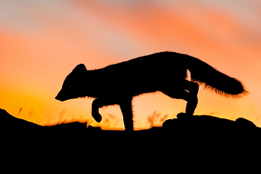 Arctic fox (Alopex / Vulpes lagopus) stalking / hunting silhouetted against a colourful sky at sunset. Dovrefjell National Park, Norway, September.