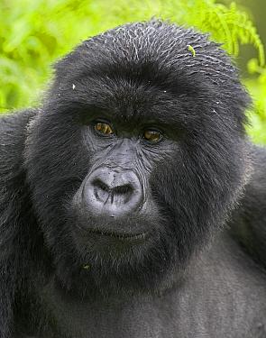 Mountain gorilla (Gorilla beringei beringei) portrait of blackback male, Virunga Mountains, Rwanda