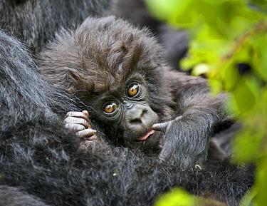 Mountain gorilla (Gorilla beringei) baby held by mother, Rwanda