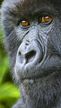 Mountain gorilla (Gorilla beringei) female portrait, Rwanda.