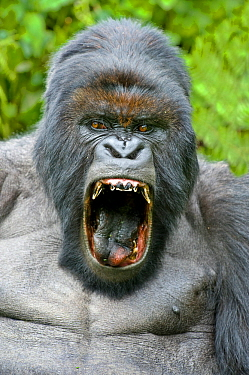 Mountain gorilla (Gorilla beringei) silverback yawning with mouth wide open. Rwanda.