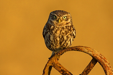 Little owl (Athene noctua) on old wheel, UK, April.