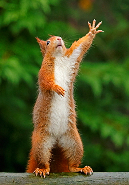 Red squirrel (Sciurus vulgaris) reaching upwards, UK. Captive.