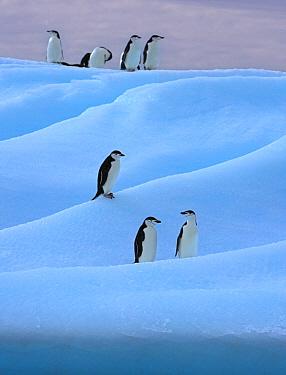 Chinstrap penguin (Pygoscelis antarcticus) group on blue iceberg, Antarctica