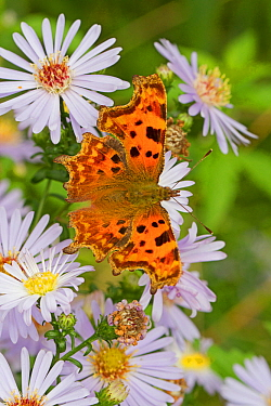 Comma butterfly   (Polygonia c-album) feeding on wild aster, Sutcliffe Park Nature Reserve, Eltham, London, UK, September.