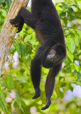 Guatemalan Black Howler Monkey (Alouatta pigra) climbing,  Community Baboon Sanctuary, Belize, Central America. Endangered species.