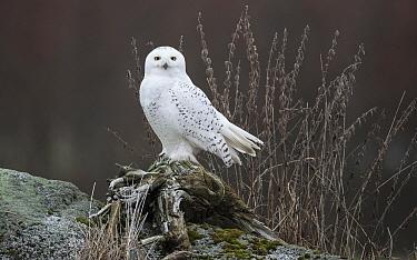 Snowy owl (Bubo scandiacus) Alajarvi, Etela-Pohjanmaa / Southern Ostrobothnia, Finland