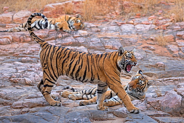 Bengal tiger (Panthera tigris tigris) 11 month cubs with mother 'T19 Krishna' in background, Ranthambhore National Park, India.
