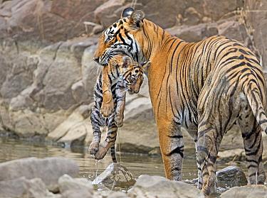 Bengal tiger (Panthera tigris tigris) female 'T19 Krishna' carrying 2 month cub, Ranthambhore National Park, India.