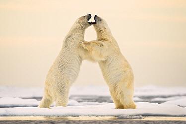 Polar bears (Ursus maritimus) courting on ocean ice north of Spitsbergen, Svalbard, Norway, July.