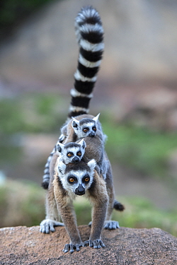 Ring-tailed lemur (Lemur catta) female carrying two babies. Anjaha Community Conservation Site, near Ambalavao, Madagascar.