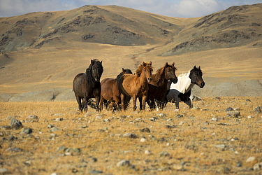 Band of wild Mongolian horses running on plains at the foot of Dungurukh Uul mountain, near the border with China and Kazakhstan, Bayan-Olgiy aymag, Mongolia. September.