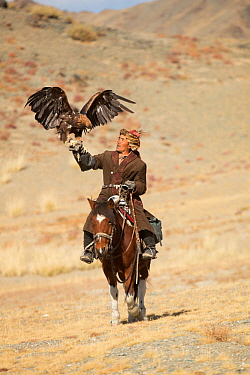 Eagle hunter mounted on Mongolian horse with his female Golden eagle (Aquila chrysaetos) at Eagle Hunters Festival, near Sagsai, Bayan-Ulgii Aymag, Mongolia. September 2014..