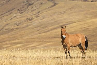 Przewalski / Takhi Horse (Equus ferus przewalskii) breeding stallion stands alert, Hustai National Park, Tuv Province, Mongolia. Endangered species. September.