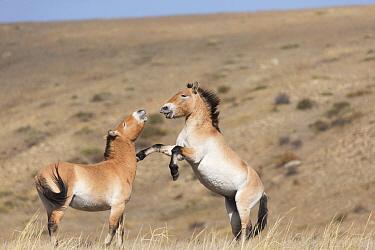 Two wild Przewalski / Takhi Horse (Equus ferus przewalskii) stallions play fighting Hustai National Park, Tuv Province, Mongolia. Endangered species. September.