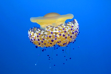 Fried egg jelly fish (Cotylorhiza tuberculata) Mediterranean Sea.