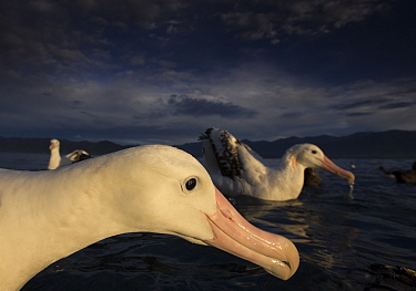 Wandering albatross (Diomedea exulans), feeding and cleaning.  -  Chris and Monique Fallows