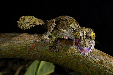 Mossy leaf-tailed gecko (Uroplatus sikorae) grooming eye, captive, occurs in Madagascar.