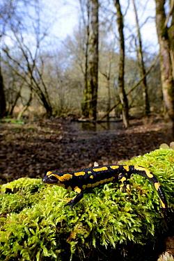 Fire salamander (Salamandra salamandra) in woodland habitat, Poitou, France. March.