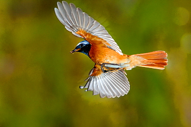 Redstart (Phoenicurus phoenicurus) male flying to nest with prey, France
