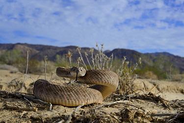 Western diamondback rattlesnake (Crotalus atrox) tasting air, in habitat, Arizona, USA, October. Controlled conditions