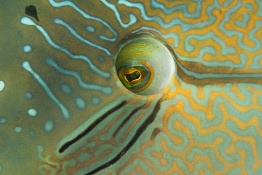 Napoleon wrasse (Cheilinus undulatus) close up of eye of male, Great Barrier Reef, Queensland, Australia.